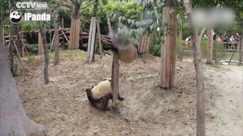 Панда рухнула с дерева, помешав страстной парочке