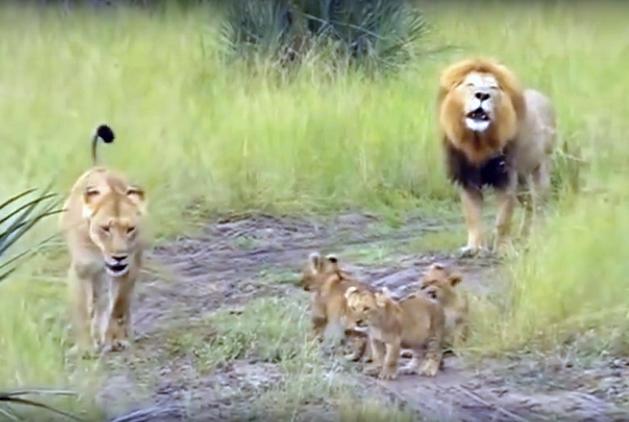 Лев обучает своих детёнышей как правильно рычать