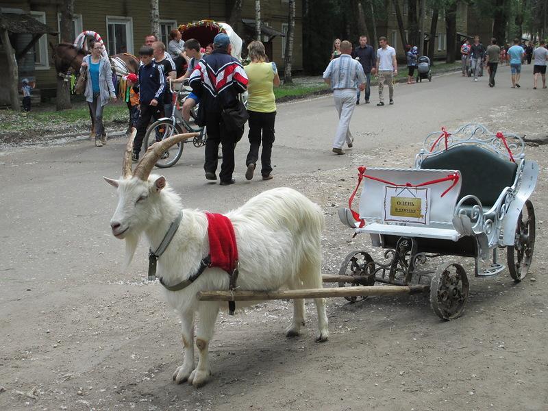 """Эх,прокачу! На тележке написано:""""Олень в отпуске"""". Козёл работает вместо оленя."""