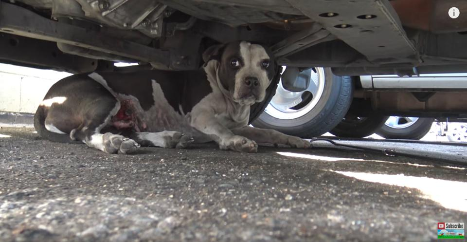 https://www.landofdogs.net/images/2017/04/Scared-Pit-Bull-Who-Was-Lying-Down-Under-A-Car-Gave-Her-Rescuer-A-Kiss-Land-of-dogs.jpg