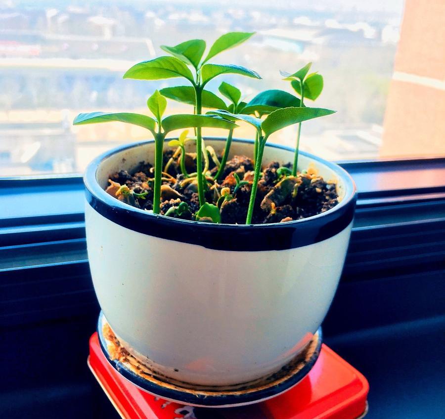 Как вырастить грейпфрут на подоконнике комнатные растения,садоводство