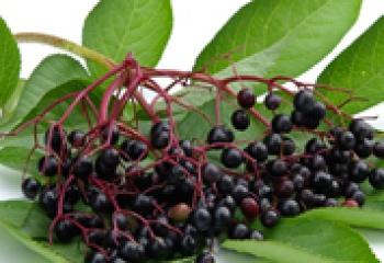 Бузина черная и ее применение в лечебных целях