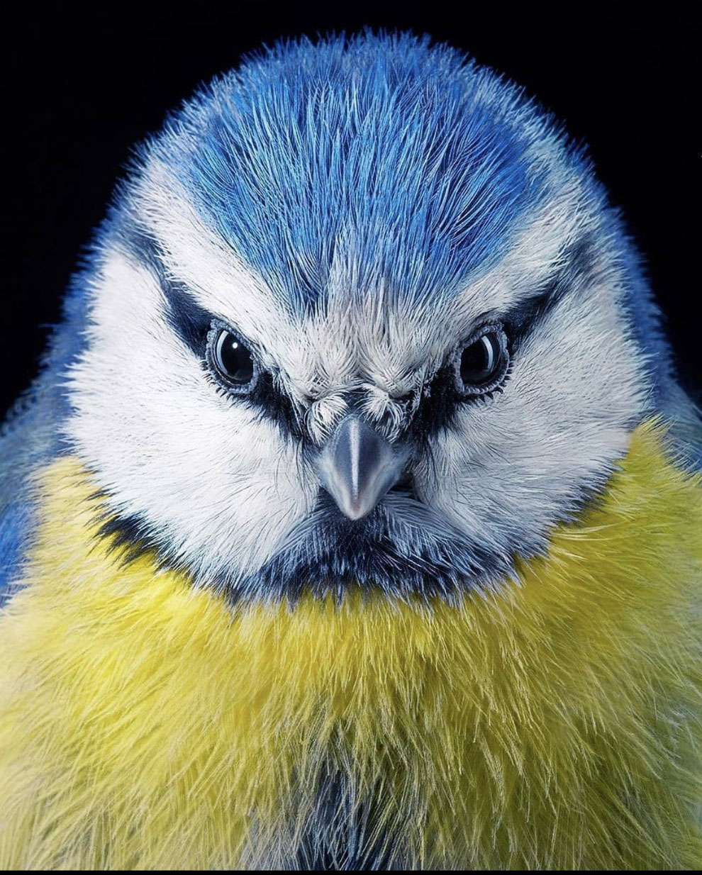 Портрет синицы