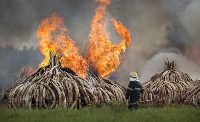 В Кении сожгли 100 тонн слоновой кости на сотни миллионов долларов