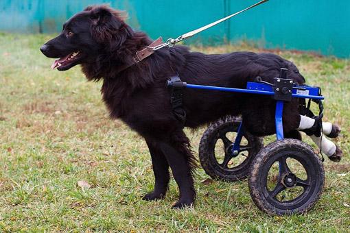 Собака-инвалид Апрель