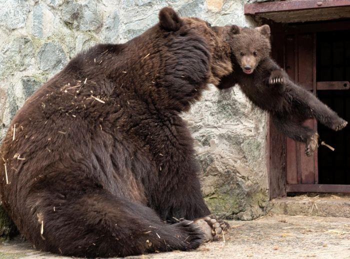 Медвежье воспитание  красивые фотографии,смешные картинки