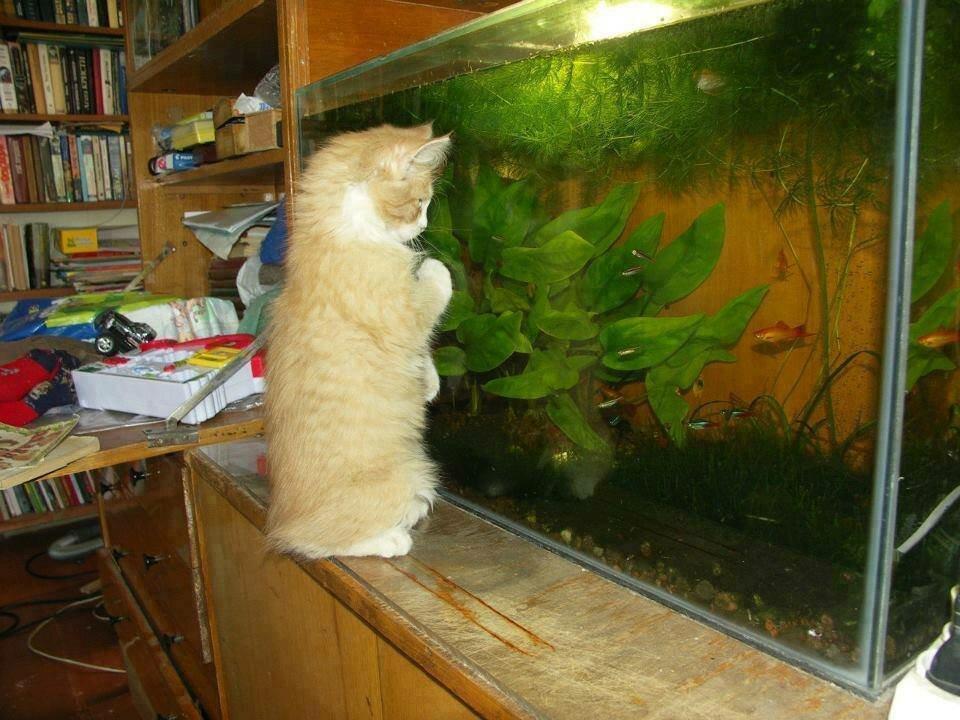 картинка кот у аквариума с рыбками этим проблемы получай