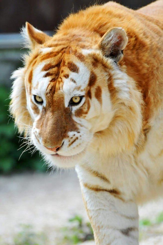 На нашей планете живет огромное количество удивительных животных, и золотой тигр – одно из них. Говорят, этот вид даже более редкий, чем уникальные белые тигры. интересное, интересные снимки, снимки