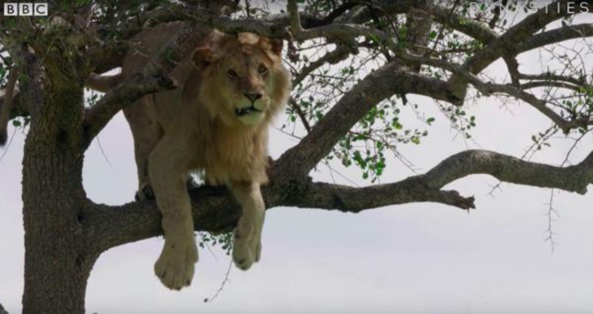 Трусливый лев побоялся слезть с дерева и насмешил интернет