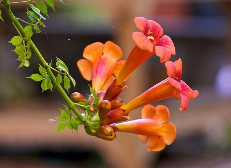 Девять лучших быстрорастущих вьющихся цветов для забора, арок и шпалер на даче полезные советы,разное,украшения