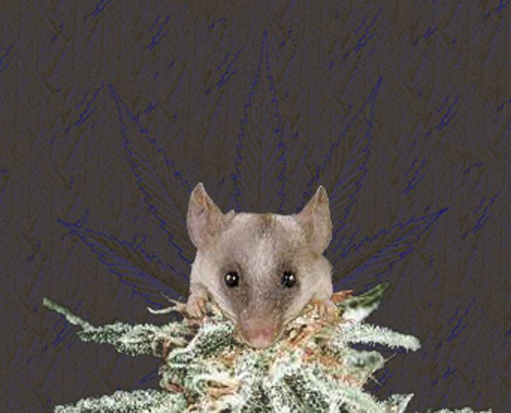 Едят ли мыши коноплю шрифты марихуана
