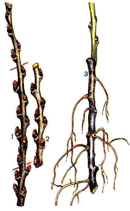 Размножение облепихи одревесневшими черенками. Фото с сайта asprus.ru