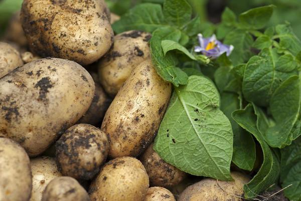 Картофель - незаменимый продукт на каждом столе