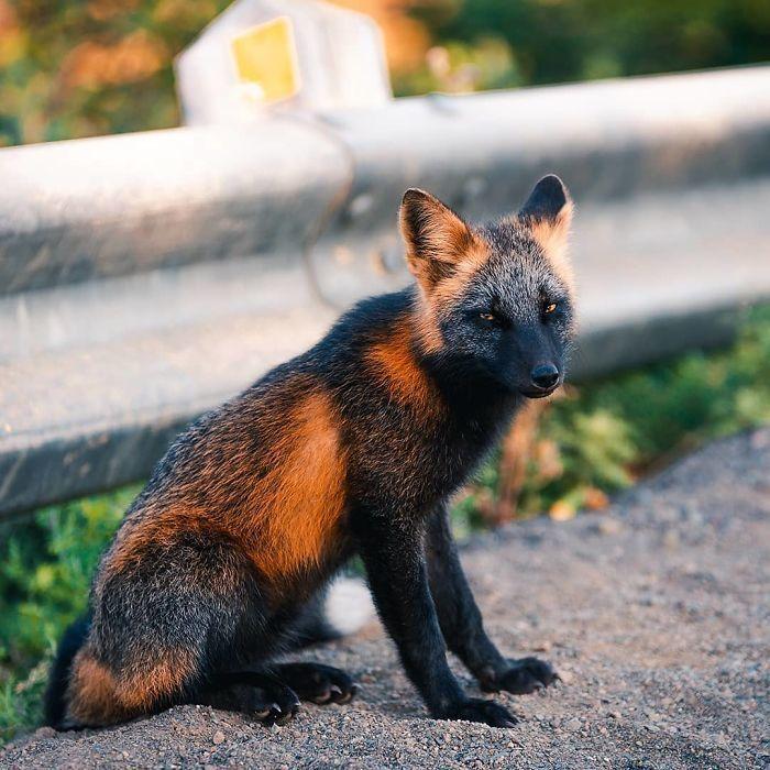 Парень подружился с удивительными черно-оранжевыми лисами и делает их снимки животные,природа,Путешествия,фото