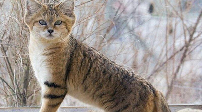 Потрясающие кошки, которые почти исчезли Зверьё, забавные, милота
