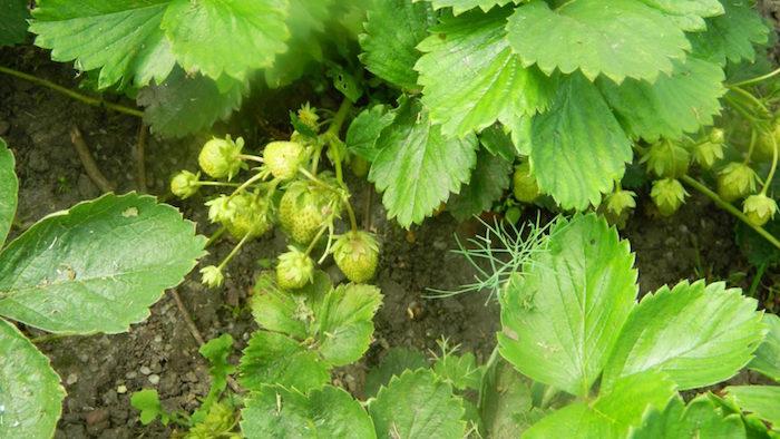 Целебная подкормка для помидоров и огурцов