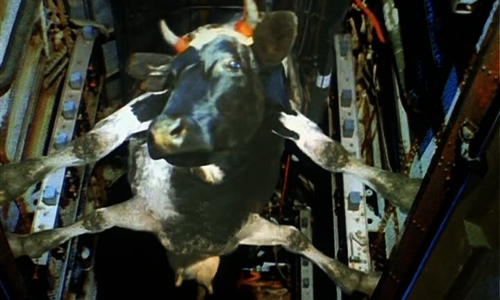 Кто сказал, что коровы не летают!