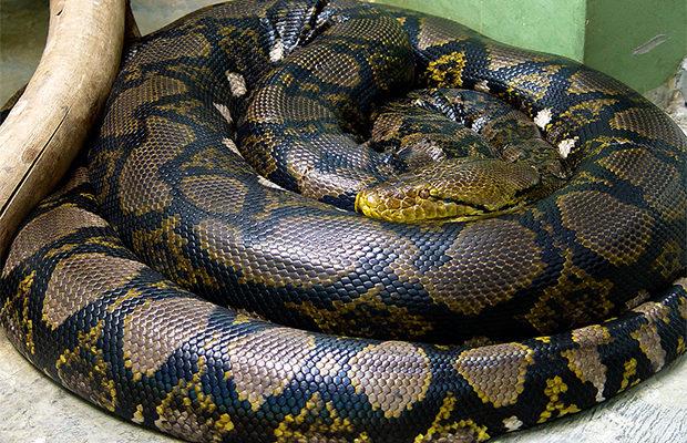 кобра и питон_3