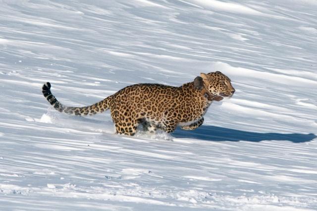 Браконьеры и нехватка денег могут сорвать проект по возвращению леопардов на Кавказ (7 фото)