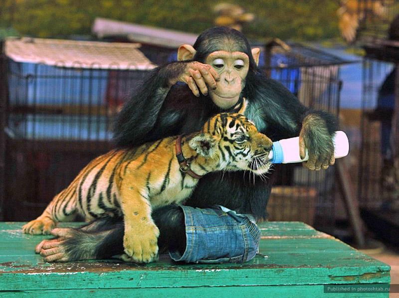Картинки с собаками обезьянками тиграми, картинки