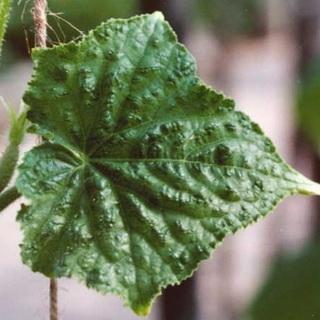 Причины мраморной окраски листьев огурцов и способы борьбы