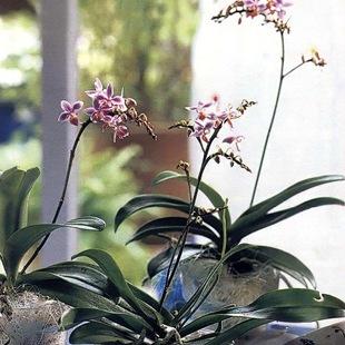 Мелкоцветковые орхидеи-бабочки
