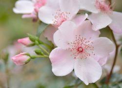 цветы шиповника лечебные свойства
