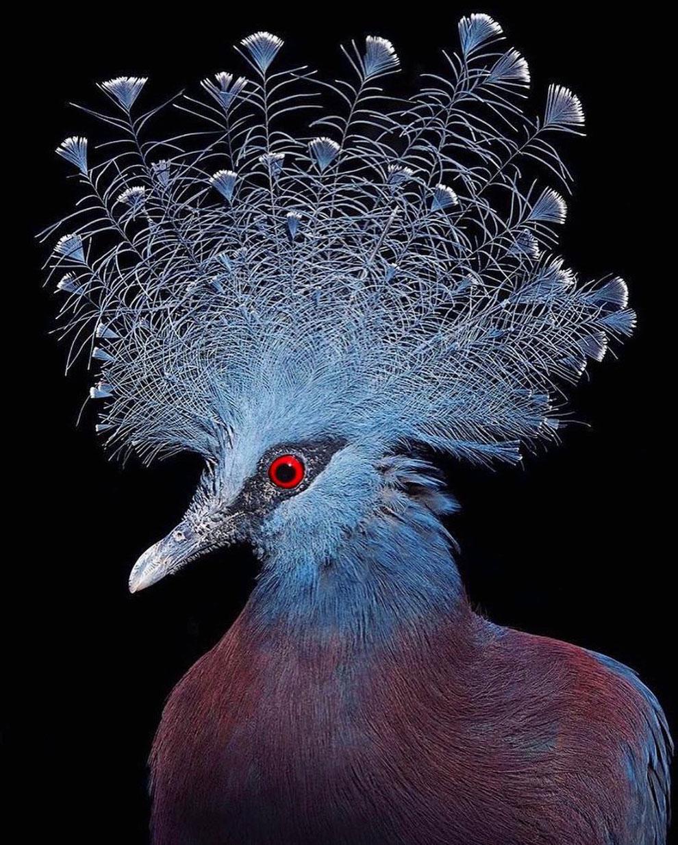 Венценосный голубь Виктория