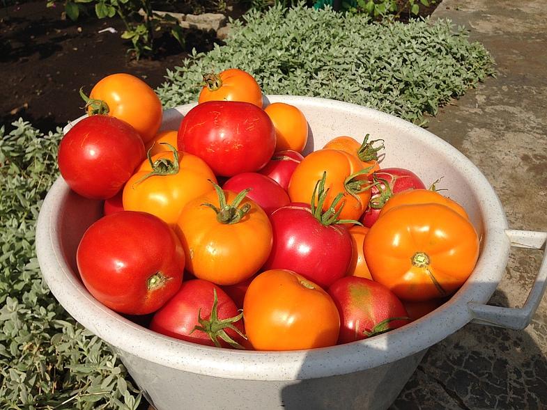 Страшную фитофтору уничтожила... медной проволокой и получила огромный урожай помидоров!