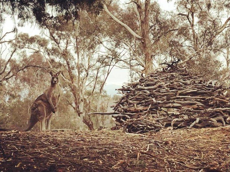 Можно подумать, что животные реализуют какой-то давно заготовленный план, и их целью является захват здания городского совета Канберры австралия, в мире, животные, кенгуру