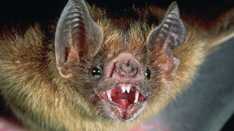 И летающие братья могут показывать зубы животные, звери, зубы, интересное, красота, оскал, природа