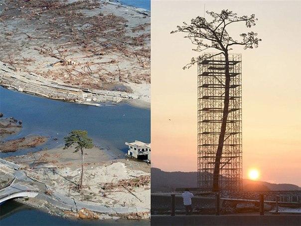 Единственное дерево из 70 000 других, пережившее цунами в Японии.