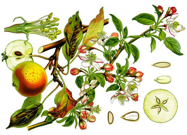 Садовая яблоня