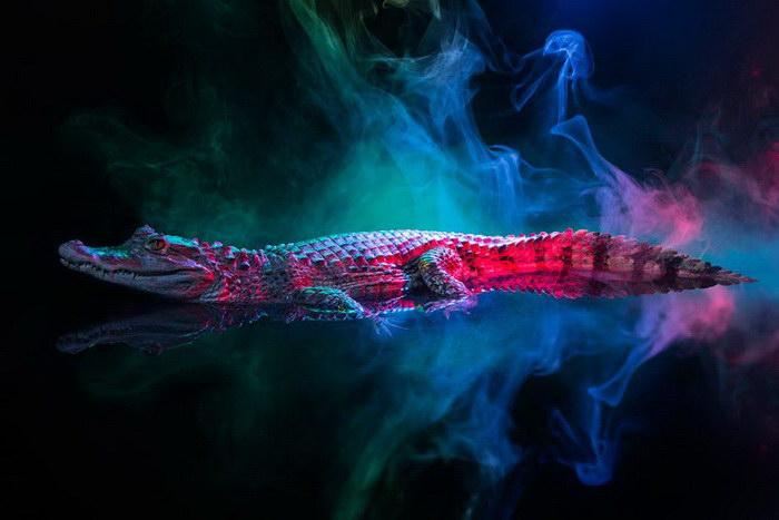 Яркие кайманы в фотографиях Andrew McGibbon