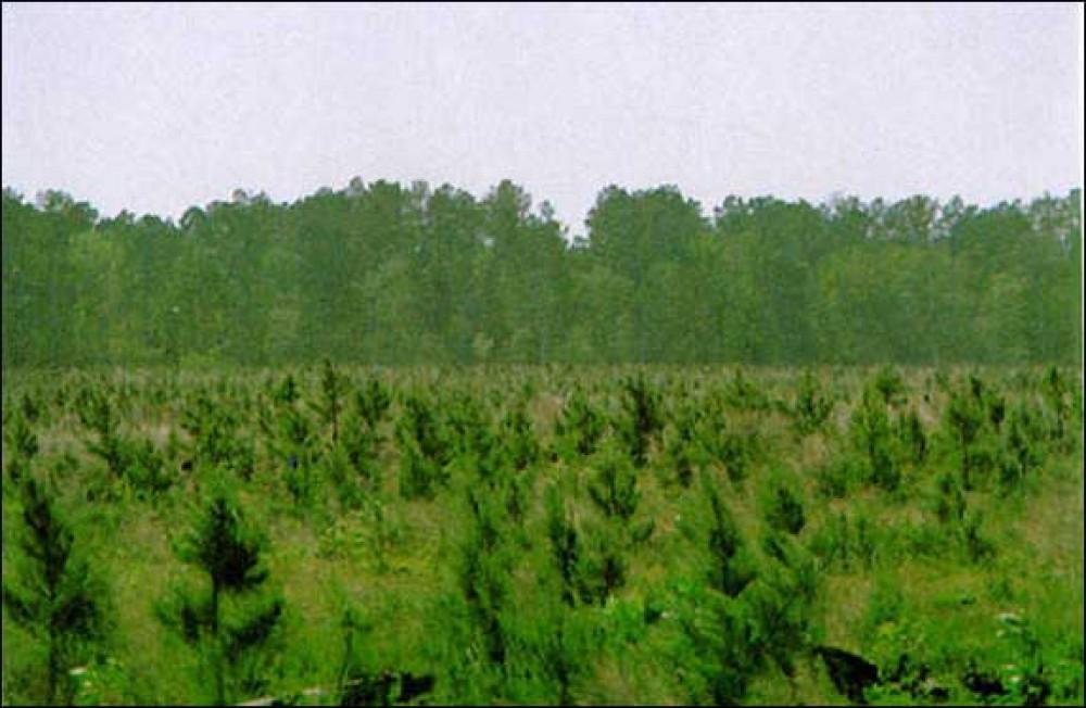 Почему наши леса молодые?