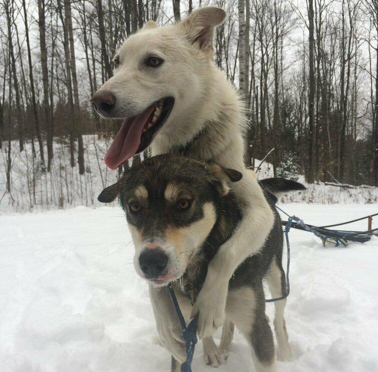Уиксон и Джефф - лучшие друзья животные, истории, мило, работа, собака, собаки, упряжка, фото