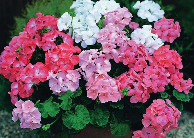 Не цветок, а прямо помощник народных целителей — герань(пеларгония домашняя)