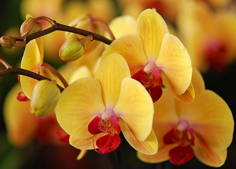 Нужно ли обрeзать отцвeтшую орхидeю