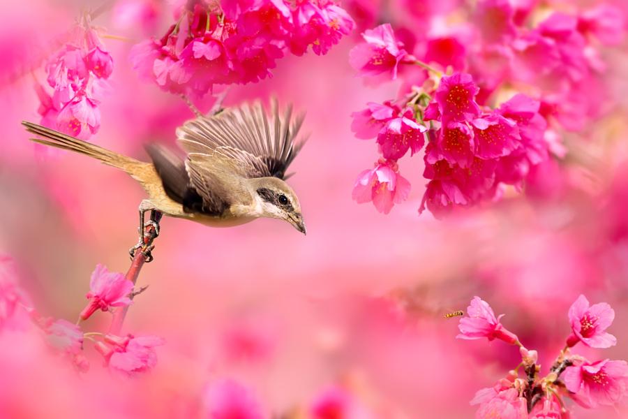 ~ Brown Shrike ~, автор — FuYi Chen на 500px.com
