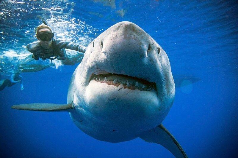 Картинки самой огромной акулы в мире