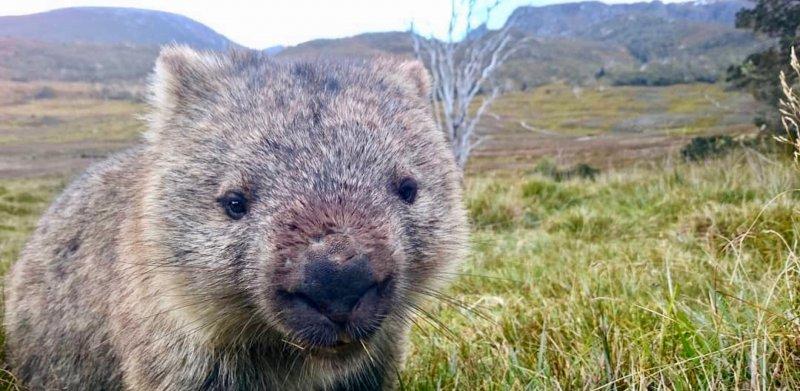 Вомбаты спасли тысячи животных от пожаров в Австралии