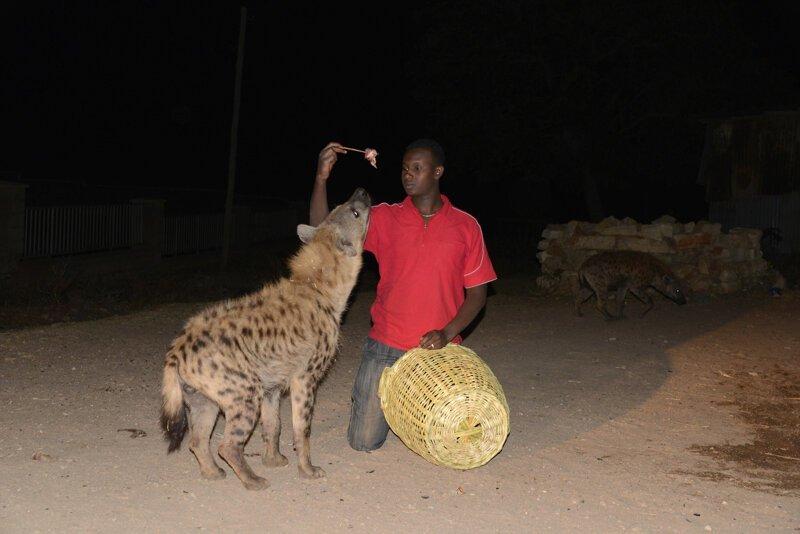 Африканские страсти: как приручить зверюгу африка, гиены, животные, интересное, приручение, факты