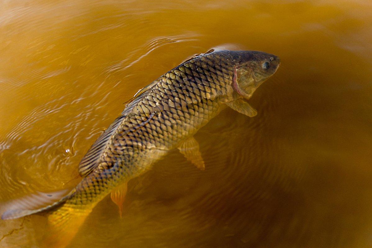 чем фото сазана рыбы что-то загадочное словах