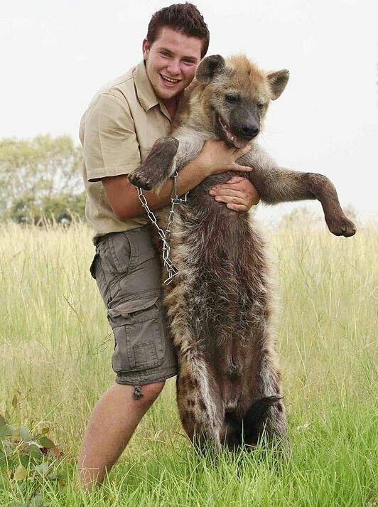 Они очень преданы хозяину и описаны случаи, когда выращенные человеком и отпущенные на волю, они возвращались обратно африка, гиены, животные, интересное, приручение, факты