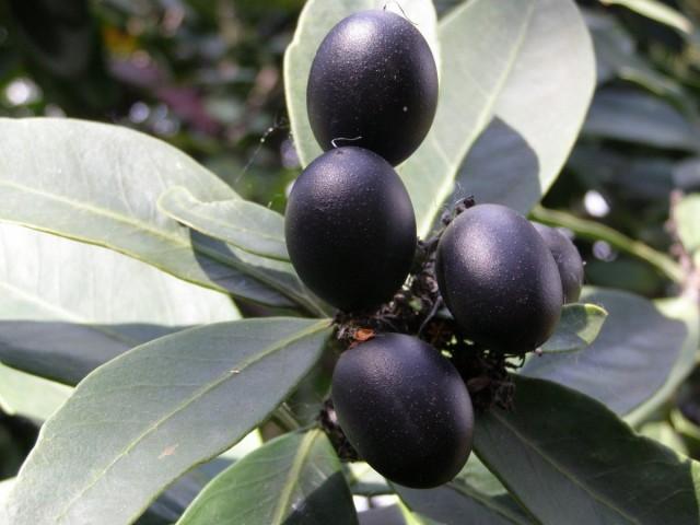 Плоды акокантеры