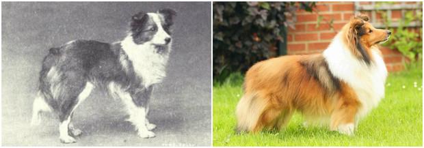 Как изменились породы собак за 100 лет биология,домашние животные,животные,собаки