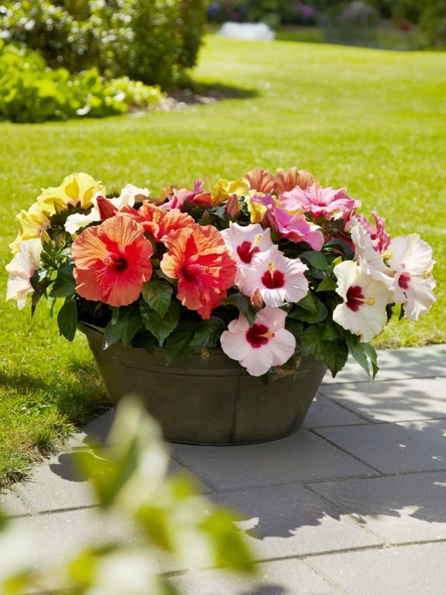 Гибискусы, до сих пор известные у нас под именем китайской розы...