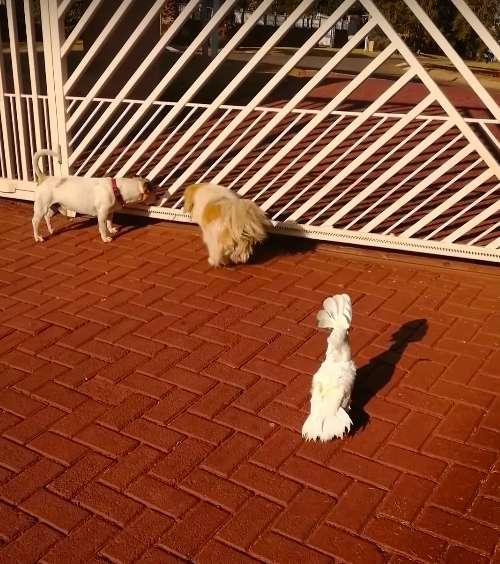 собаки и какаду