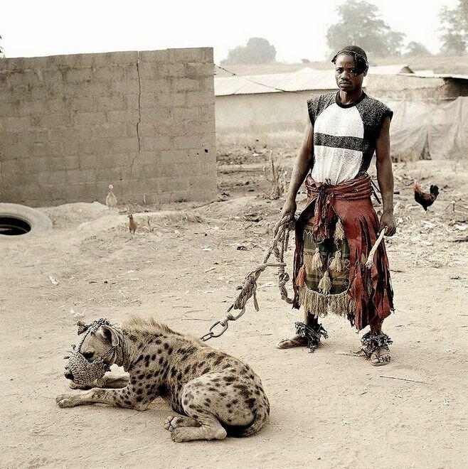 Во-вторых, у гиен существует очень жесткая иерархия и приручить ее может лишь очень сильный человек-вожак африка, гиены, животные, интересное, приручение, факты