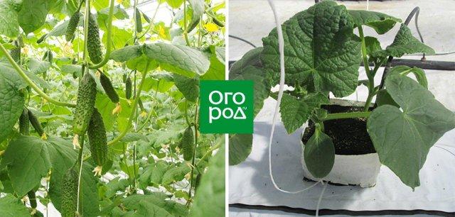 выращивание огурцов по малообъемной технологии
